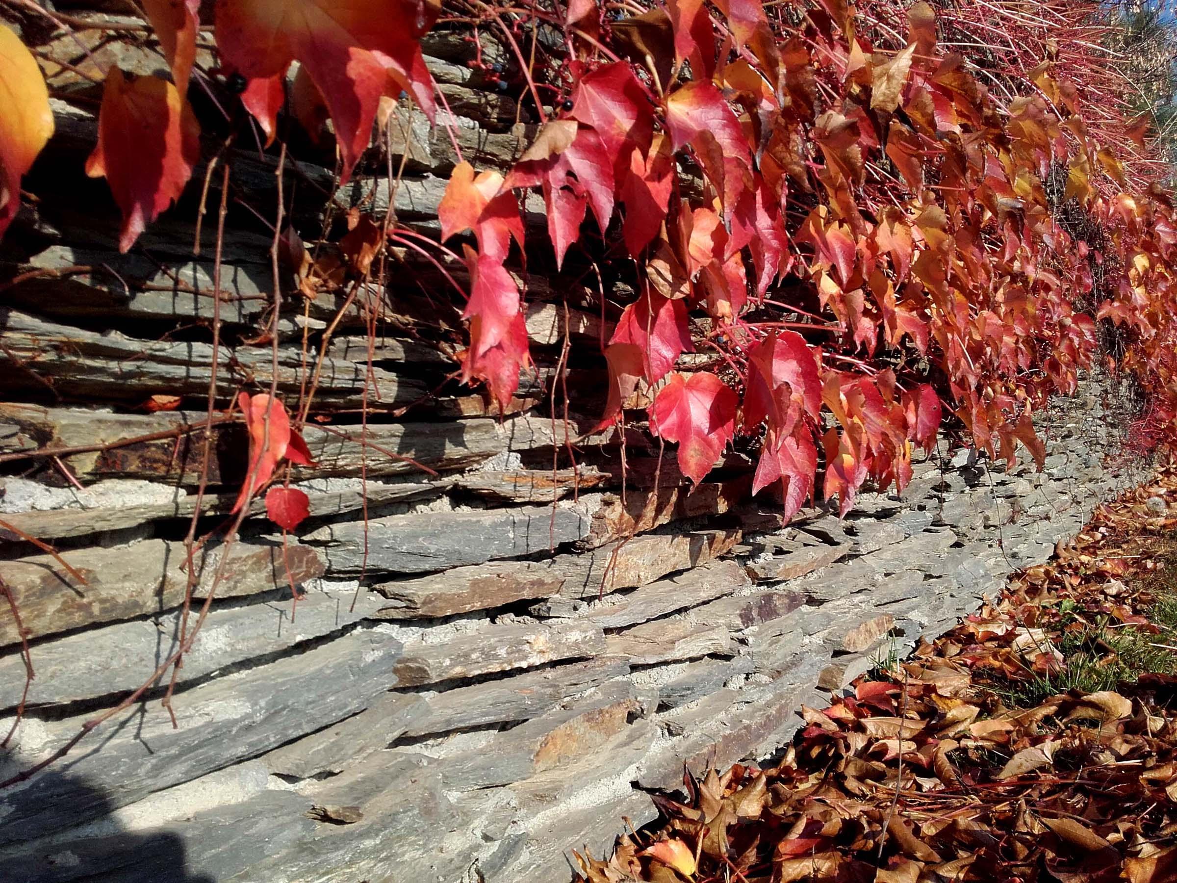 mur z winobluszczem trójklapowym (1)